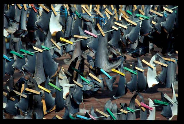 aletas de tiburón secándose
