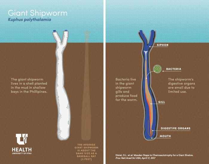 forma de alimentación del gusano gigante Kuphus polythalamia