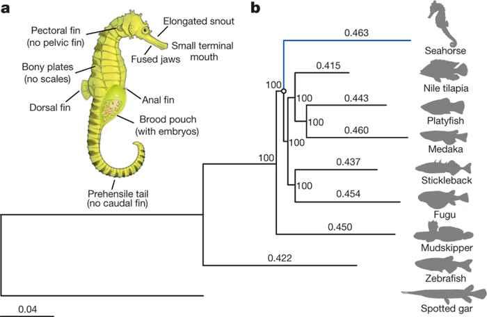 arbol filogenético del caballito de mar