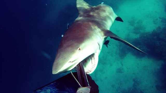 ataque de tiburón toro a buceador en Australia
