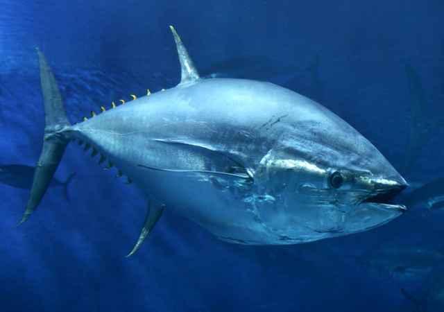atún rojo y el fenantreno