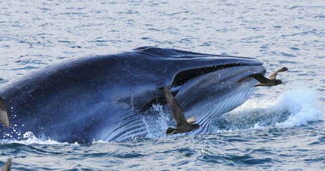 ballena barbada alimentándose en Nueva Zelanda