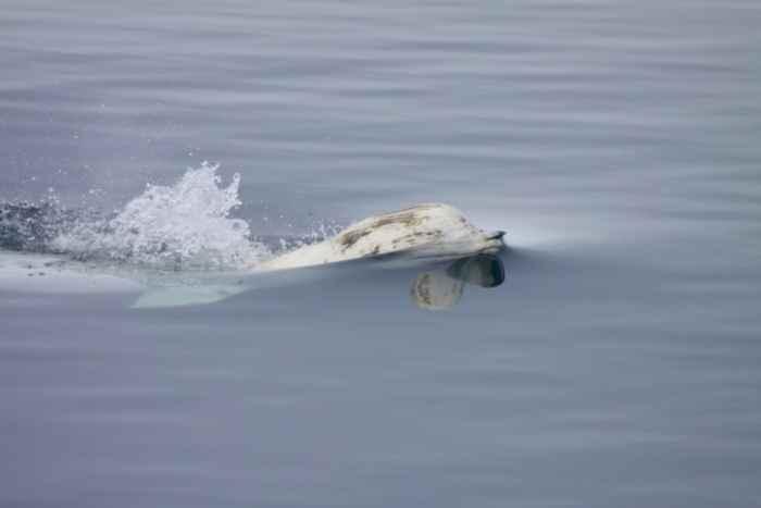 ballena beluga en la superficie