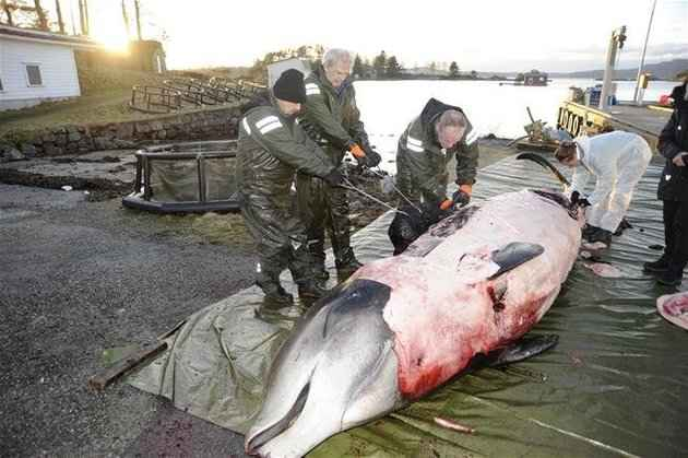 ballena picuda con plástico en el estómago
