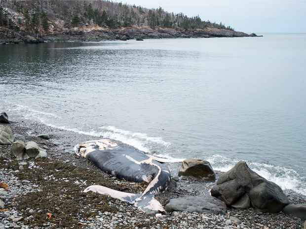 ballena varada en la costa de Canadá