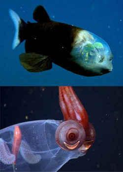 barreleye y calamar Taonius