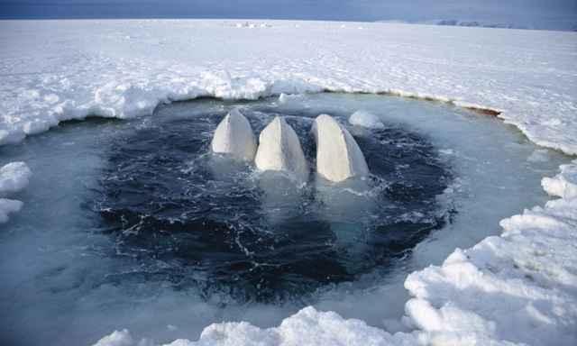 belugas en el hielo marino Ártico