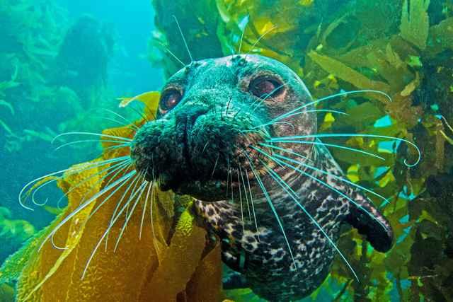 bigotes de la foca de puerto