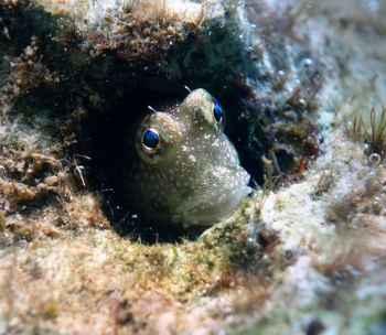 blenio anfibio marino