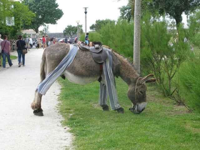 burro de Poitou en pijama
