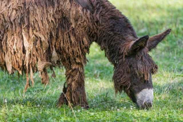 burro de Poitou sin pijama