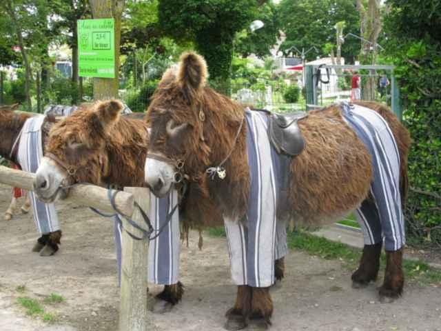 burros de Poitou en pijama