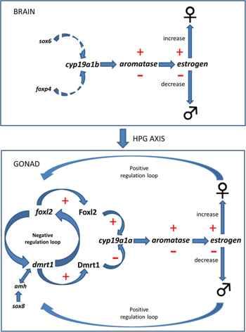 mecanismo de cambio de sexo en el pez payaso