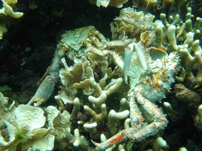 cangrejos muertos a causa de la hipoxia