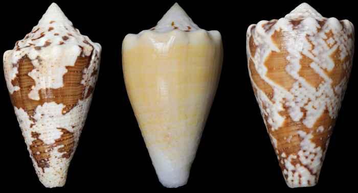 caracol marino Conus regius