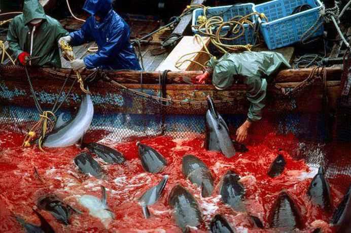 caza de delfines en Taiji