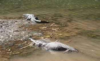 cocodrilo caza un pez sierra juvenil