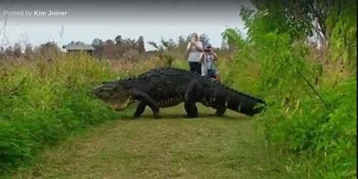 cocodrilo gigante en Florida