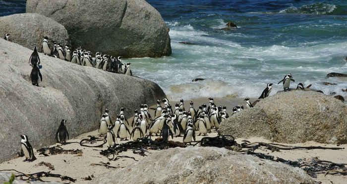colonia de pingüinos africanos (Spheniscus Demersus)