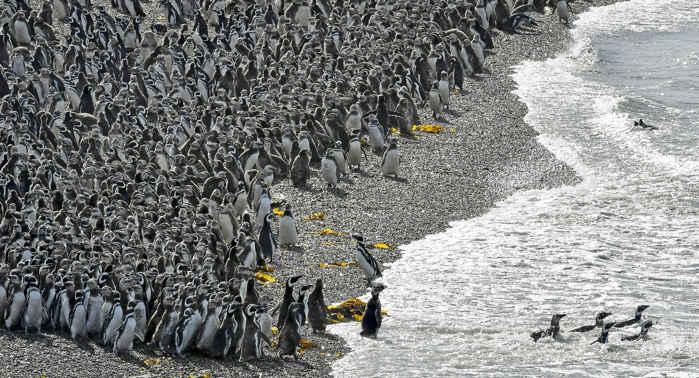 colonia de pingüinos de Magallanes en Punta Tombo, Argentina