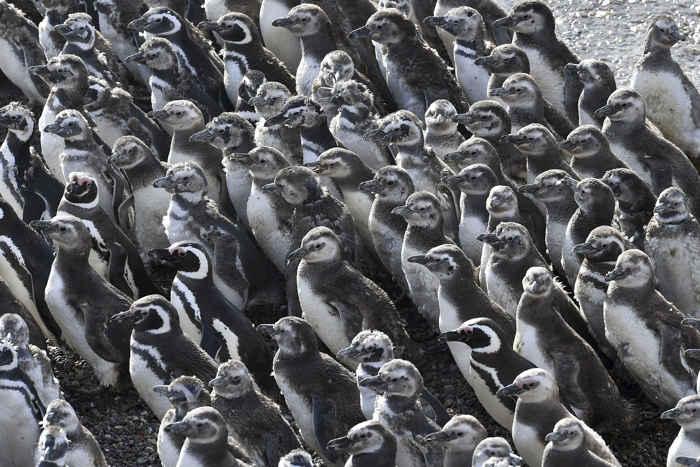 detalle de una colonia de pingüinos de Magallanes en Punta Tombo, Argentina