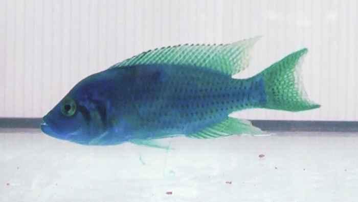 comunicación de los peces con la orina