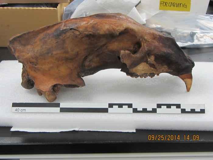 cráneo de oso comadreja