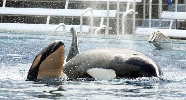 cría de orca con su madre Kasatka en SeaWorld