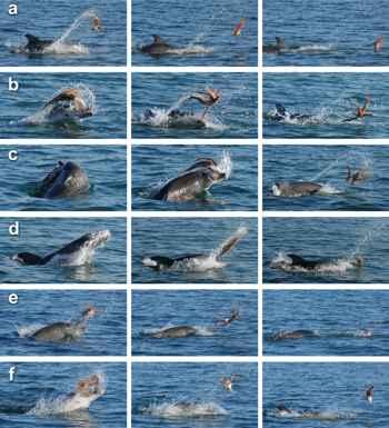 delfín ablanda un pulpo, secuencia