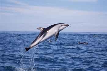 delfín oscuro (Lagenorhynchus obscurus)