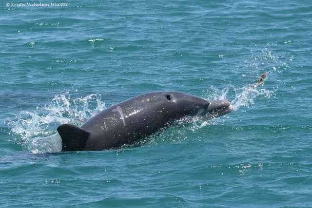 delfín jugando con un pez globo