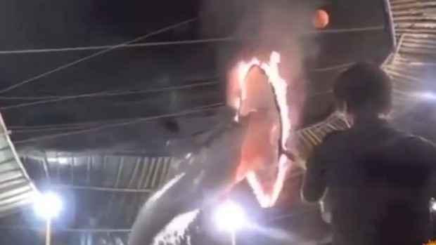 delfin salta por un aro de fuego