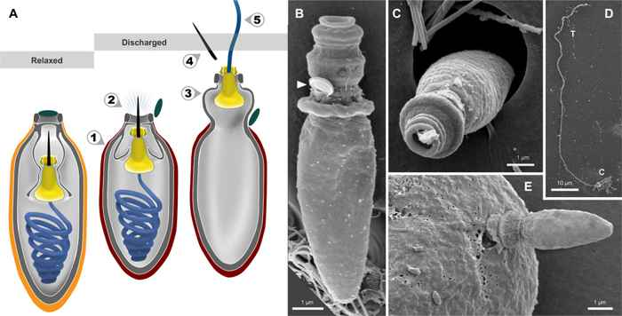 descarga del nematocisto por el Polykrikos