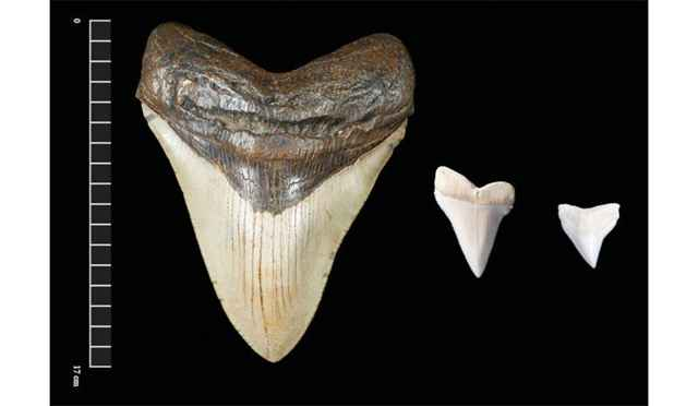 dientes fósiles mayas de megalodon