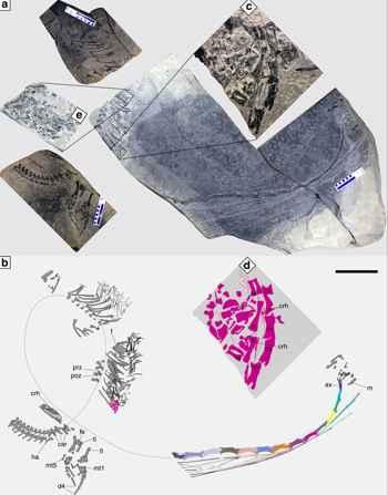fósil de  Dinocephalosaurus embarazado