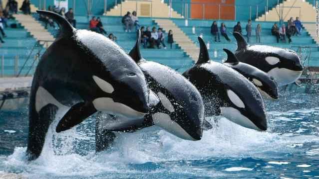 espectáculo de orcas