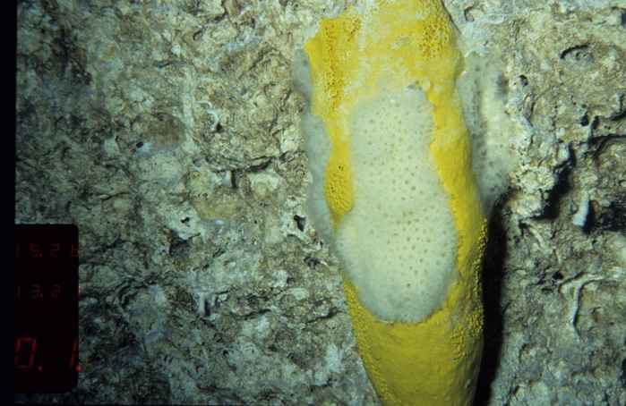 fármaco de esponja marina luchará contra bacterias