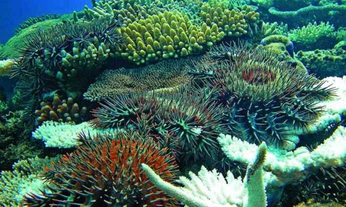 estrella mar estrella de mar corona de espinas
