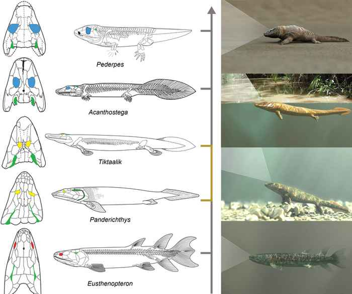 evolución de peces a tetrápodos