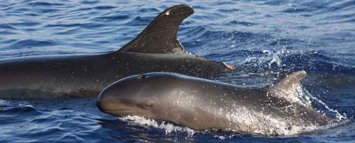 falsas orcas (Pseudorca crassidens)