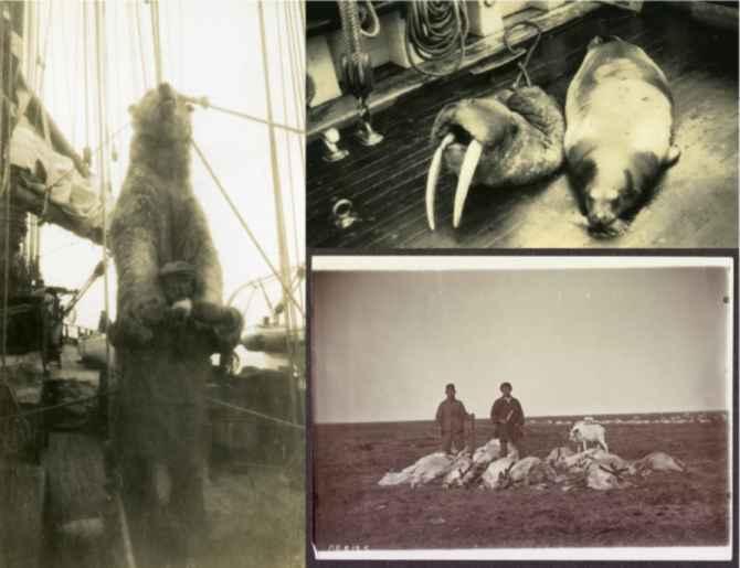 fauna cazada por los balleneros americanos