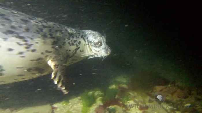 foca de puerto (Phoca vitulina), cazando