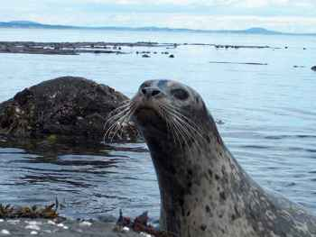 foca de puerto (Phoca vitulina)