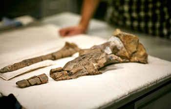cráneo fósil de antigua ballena