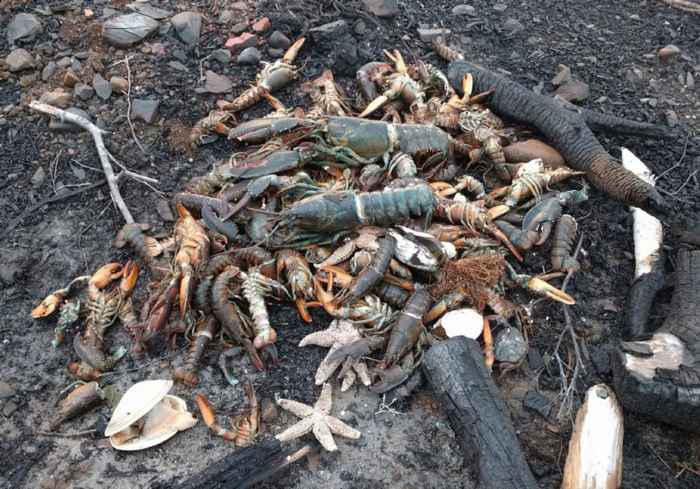langostas muertas en Nueva Escocia, Canadá