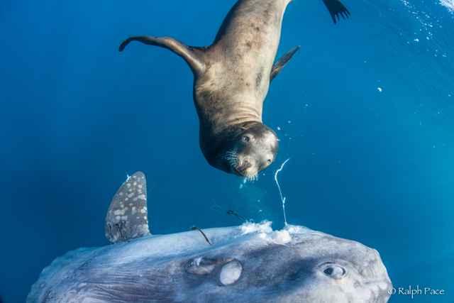 león marino devora a un Mola mola