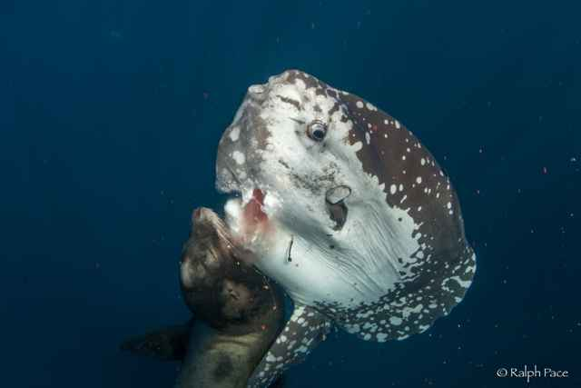 león marino devora a un pez luna