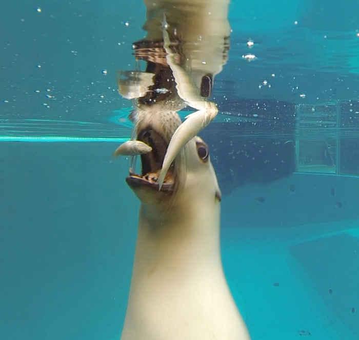 león marino se traga un pez