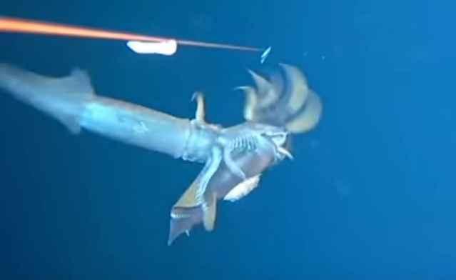 lucha entre calamares
