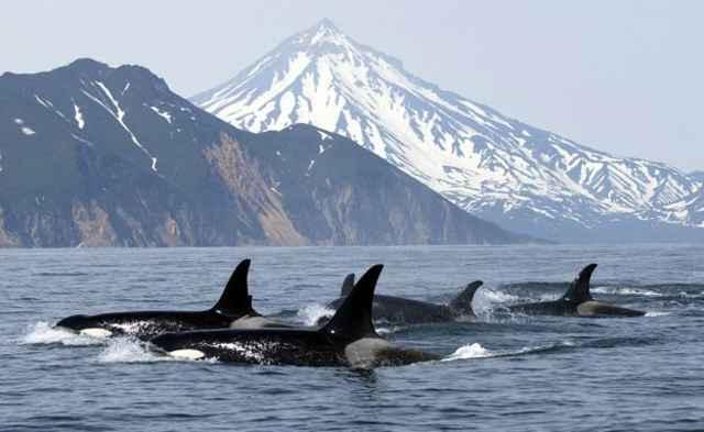 manada de orcas en la naturaleza
